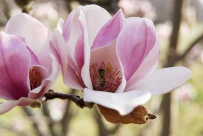 Magnolia cylindrica (Cylindrical Magnolia), flower, full