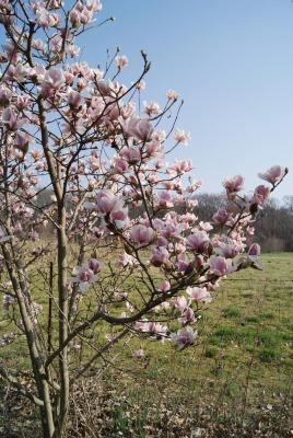 Magnolia cylindrica (Cylindrical Magnolia), inflorescence
