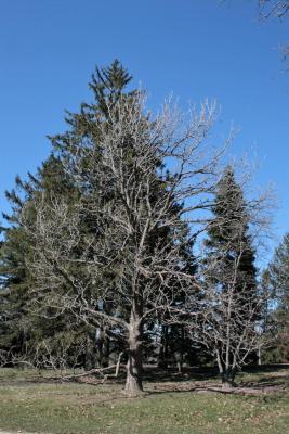 Magnolia acuminata (Cucumber-tree), habit, spring