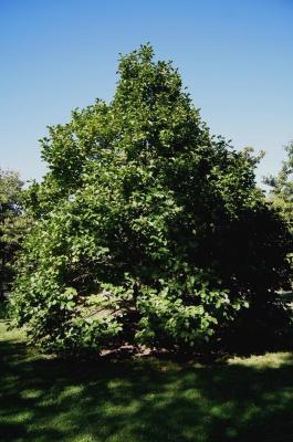 Magnolia denudata (Yulan Magnolia), habit, fall
