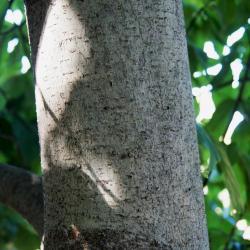 Magnolia biondii (Chinese Willow-leaved Magnolia), bark, trunk