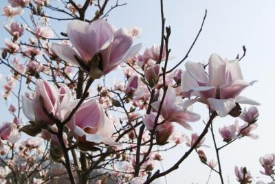 Magnolia cylindrica (Cylindrical Magnolia), flower, side