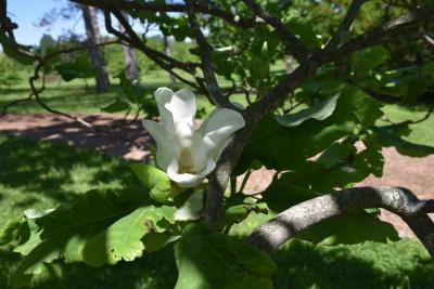 Magnolia ashei (Ashe's Magnolia), flower, throat