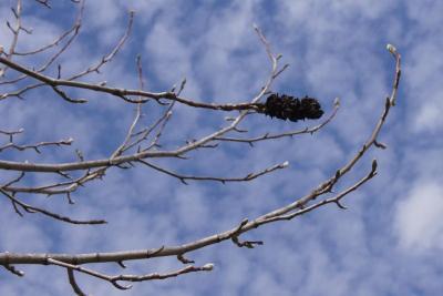 Magnolia acuminata (Cucumber-tree), infructescence
