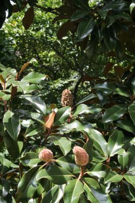 Magnolia grandiflora 'Bracken's Brown Beauty (Bracken's Brown Beauty Southern Magnolia), fruit, immature