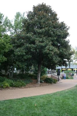 Magnolia grandiflora 'Bracken's Brown Beauty (Bracken's Brown Beauty Southern Magnolia), habit, fall