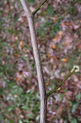 Magnolia biondii (Chinese Willow-leaved Magnolia), bark, twig