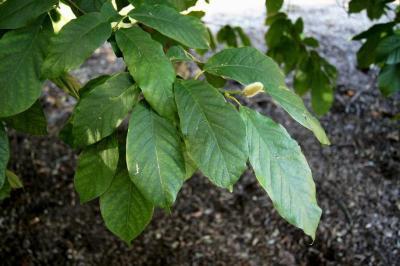 Magnolia biondii (Chinese Willow-leaved Magnolia), habit, fall