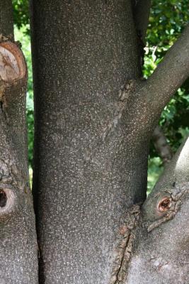 Magnolia grandiflora 'Bracken's Brown Beauty (Bracken's Brown Beauty Southern Magnolia), bark, mature
