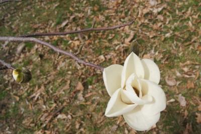Magnolia denudata (Yulan Magnolia), flower, throat