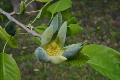 Magnolia acuminata (Cucumber-tree), flower, throat