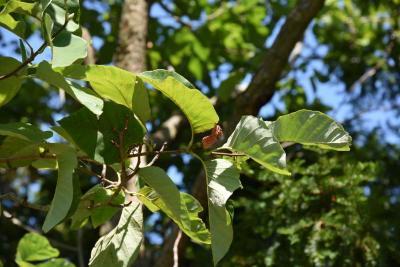 Magnolia acuminata (Cucumber-tree), fruit, mature