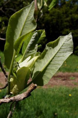 Magnolia ashei (Ashe's Magnolia), leaf, lower surface