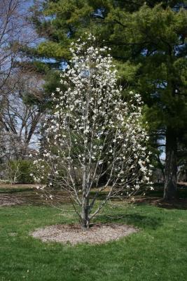 Magnolia kobus 'Wada's Memory' (Wada's Memory Japanese Magnolia), habit, spring