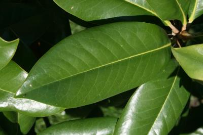 Magnolia grandiflora (Southern Magnolia), leaf, upper surface