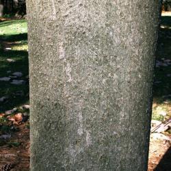 Magnolia hypoleuca (Japanese White-barked Magnolia), bark, mature