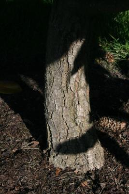 Magnolia grandiflora (Southern Magnolia), bark, mature