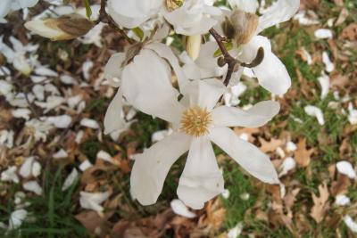 Magnolia kobus var. borealis (Northern Japanese Magnolia), flower, throat