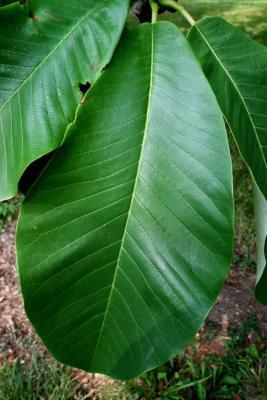 Magnolia hypoleuca (Japanese White-barked Magnolia), leaf, upper surface