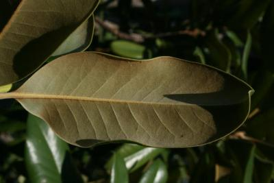 Magnolia grandiflora (Southern Magnolia), leaf, lower surface