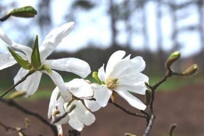Magnolia kobus var. borealis (Northern Japanese Magnolia), flower, full