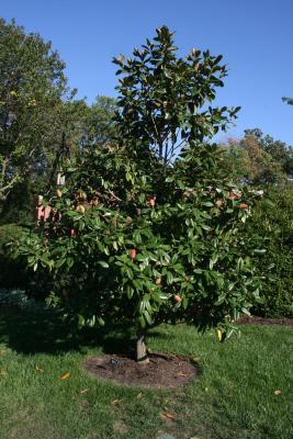 Magnolia grandiflora (Southern Magnolia), habit, young