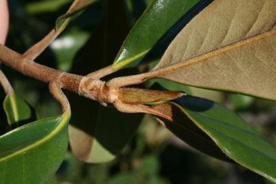 Magnolia grandiflora (Southern Magnolia), bud, terminal