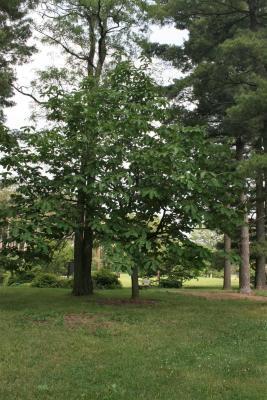 Magnolia hypoleuca (Japanese White-barked Magnolia), habit, spring