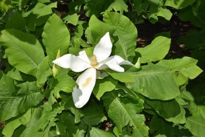 Magnolia macrophylla (Big-leaved Magnolia), flower, full