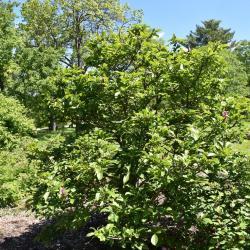 Magnolia liliflora (Purple Magnolia), habit, spring