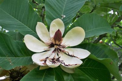 Magnolia obovata (Japanese White-barked Magnolia), flower, full