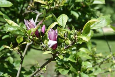 Magnolia liliflora (Purple Magnolia), flower, side