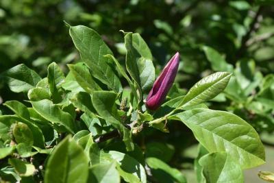 Magnolia liliflora (Purple Magnolia), bud, flower