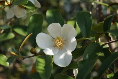 Magnolia laevifolia 'Michelle' (Michelle Michelia), flower, throat