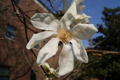 Magnolia kobus (Japanese Magnolia), flower, throat