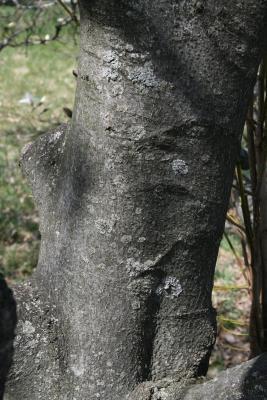 Magnolia salicifolia (Anise Magnolia), bark, mature