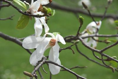 Magnolia salicifolia (Anise Magnolia), flower, full