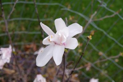 Magnolia stellata (Star Magnolia), flower, full