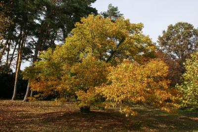 Magnolia stellata 'Rosea' (Pink Star Magnolia), habit, fall