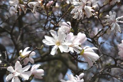 Magnolia stellata 'Rosea' (Pink Star Magnolia), flower, full