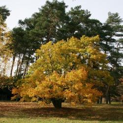 Magnolia ×soulangeana (Saucer Magnolia), leaf, fall