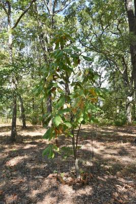 Magnolia tripetala (Umbrella Magnolia), habit, fall