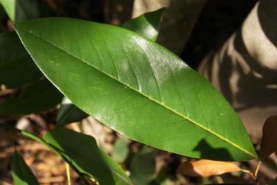 Magnolia virginiana (Sweetbay Magnolia), leaf, upper surface