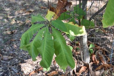 Magnolia tripetala (Umbrella Magnolia), leaf, fall