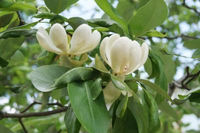 Magnolia virginiana (Sweetbay Magnolia), flower, side