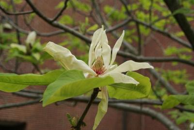 Magnolia tripetala (Umbrella Magnolia), flower, side