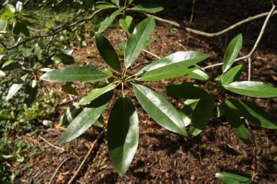 Magnolia virginiana (Sweetbay Magnolia), leaf, summer