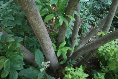 Magnolia virginiana (Sweetbay Magnolia), bark, mature