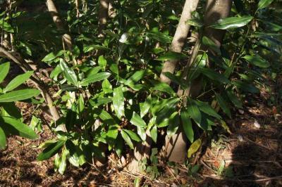 Magnolia virginiana (Sweetbay Magnolia), habit, fall