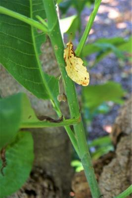 Magnolia tripetala (Umbrella Magnolia), bark, stem